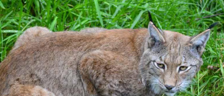 cat mixed with bobcat