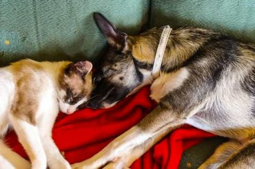 siamese cats get along with dogs